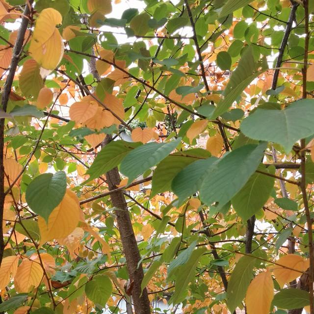 Vom satten Sommergrün zum goldenen #Herbst :-) #oktoberobsession #nofilter #Blätter