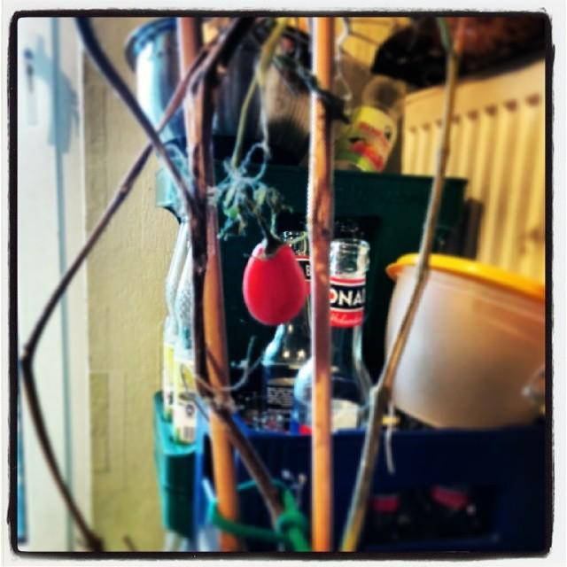 Die letzte Tomate des Jahres reifte heimlich still & leise in der Abstellkammer am Strauch vor sich hin. Jetzt darf sie Babykeks ernten!